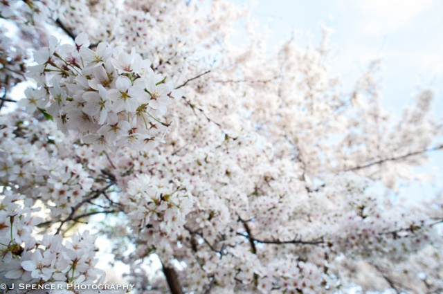 cherry_blossoms-8871