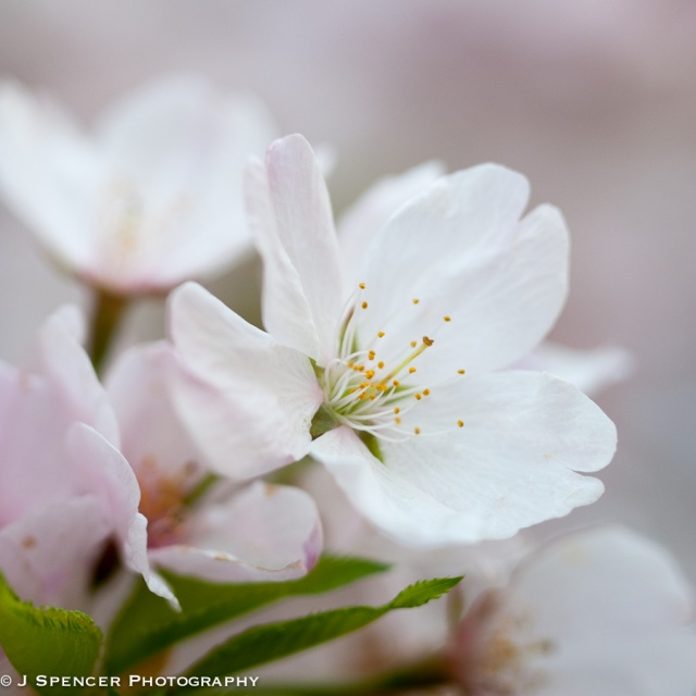 cherry_blossoms-8911