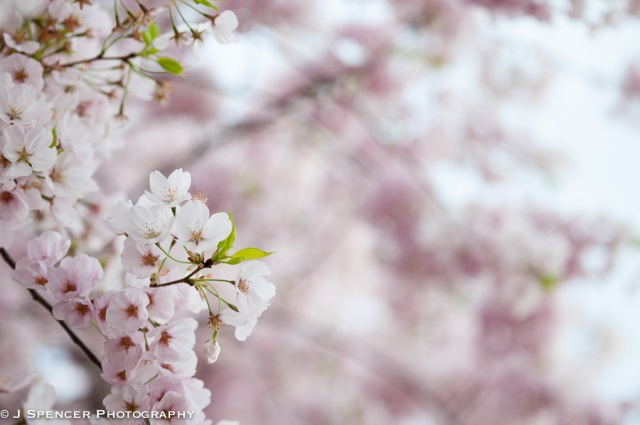 cherry_blossoms-8912