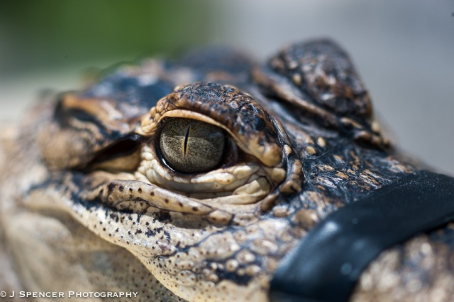 Young crocodile - thank goodness for electrical tape.