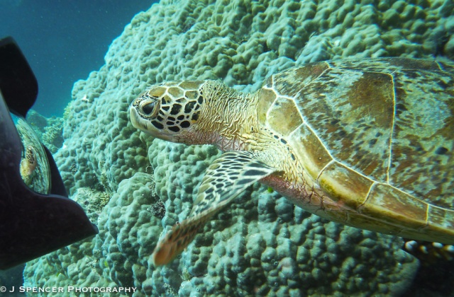 The turtle staring at the big camera - if only it were my camera!  Outer Great Barrier Reef