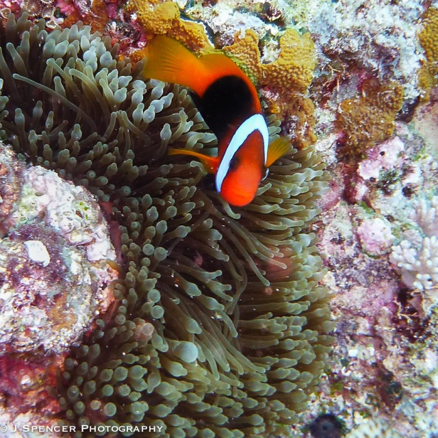 Anemone fish!  Outer Great Barrier Reef
