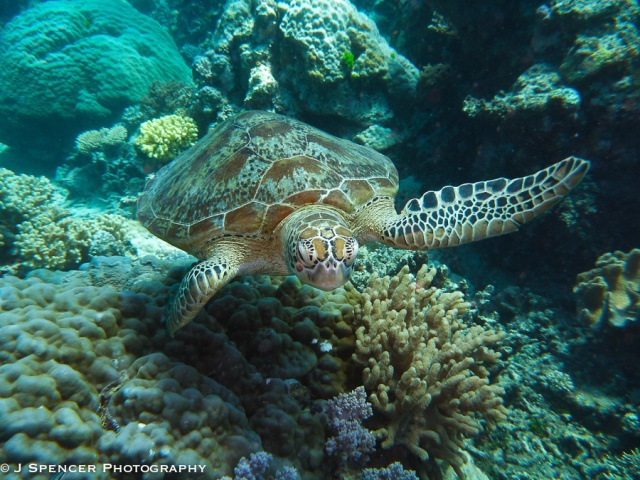 Finally, the turtle came my way when the others had gotten bored.  Outer Great Barrier Reef