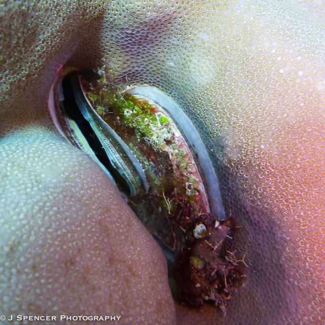 A mollusk in the coral.  Outer Great Barrier Reef