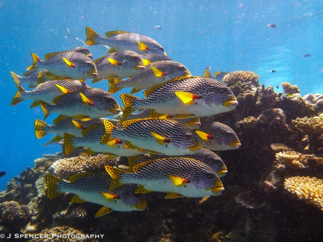 A school of Sweetlips, outer Great Barrier Reef