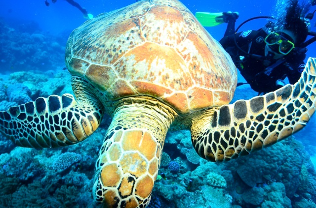 Me on the right, chasing after the turtle for a photograph.  Courtesy of Calypso Reef Imagery