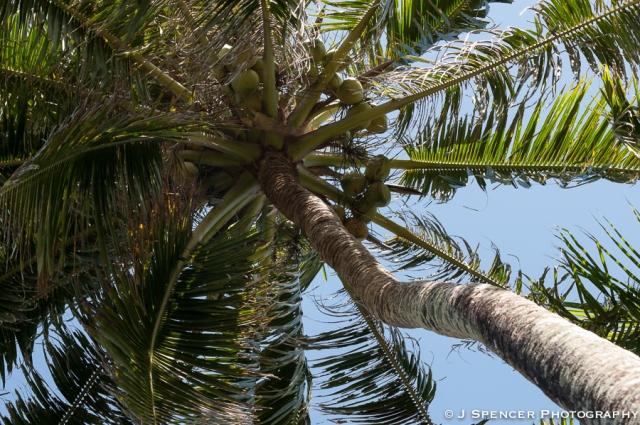 Coconut palms abound
