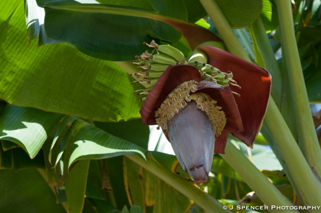 The bananas grow in a long spiral as the flower descends