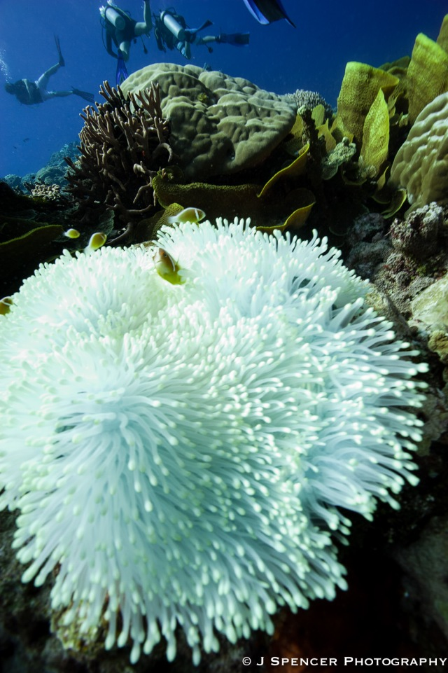 Anemone, fish & divers, Kosrae