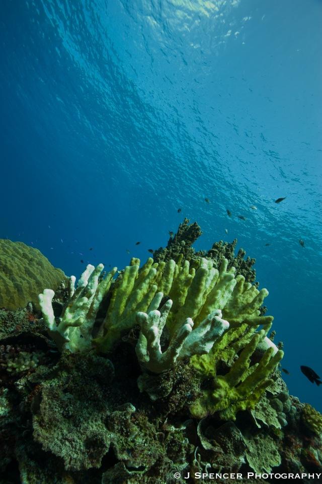 Kosrae coral head