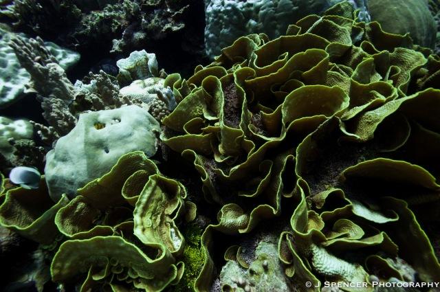 Lettuce coral in Kosrae.