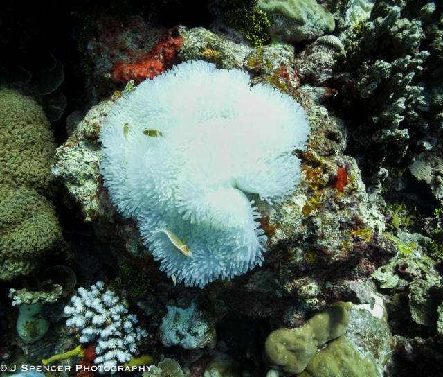 Anemone fish in Kosrae